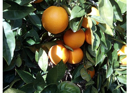 2 Sandías y hasta 15kg de Naranja para Zumo