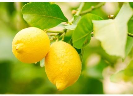 Zitrone 1kg (annähernd)