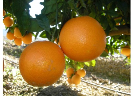 Orange Lane-Late Tafel 5kg