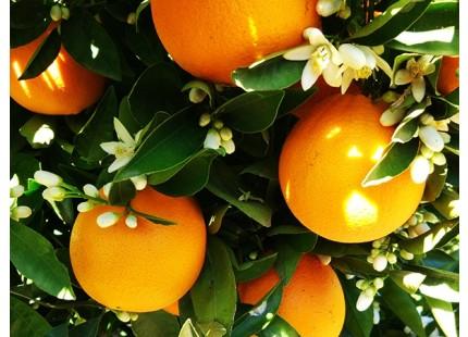 Naranjas Eco directas del campo 9kg.