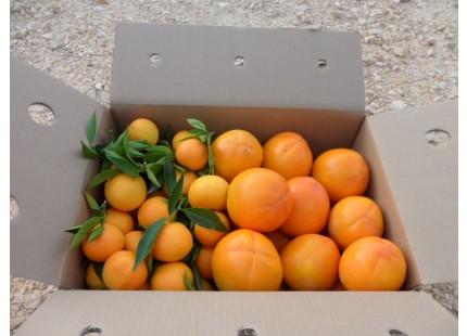 Schachtel 15kg Kaki Persimon und Clementine Clemenules