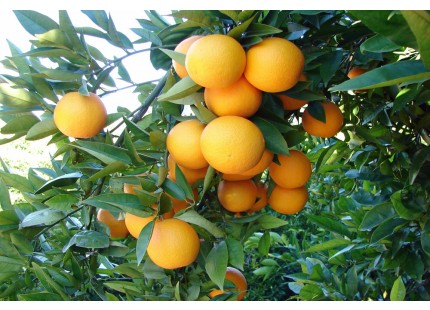 Orange Valencia Lane Tafel + Valencia Late Saft 10kg