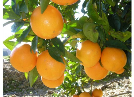 Orange Washington Navel Saft 10kg
