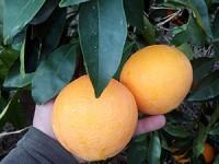 1 Sandía y hasta 19kg de Naranja para Zumo