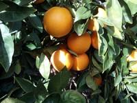 1 Sandía y hasta 19kg de Naranja para Mesa