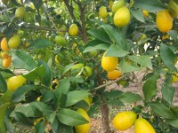 Limequat 1kg