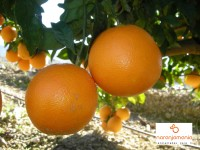 Oranger Tisch 1kg ✔
