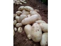 Neue Kartoffel 1kg