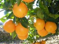 Mixed Box 10kg Orangen Tisch (8kg) + Zucchini (2kg)