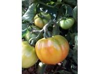 Optima Tomate 1kg