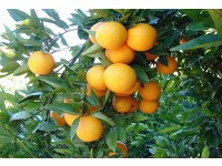 Orange Valencia Lane Tafel 20kg